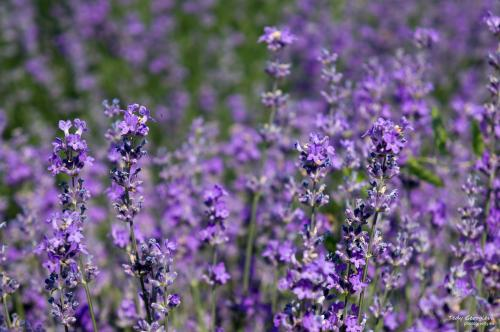 lavender 07