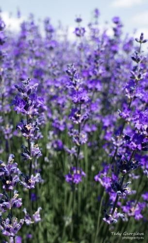 lavender 09