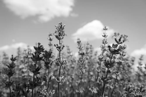 lavender 11