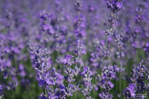 lavender 17