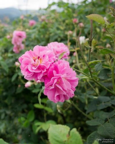 Rose Valley 09