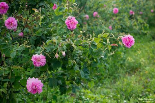 Rose Valley 12