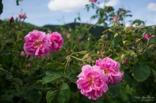 Rose Valley 14